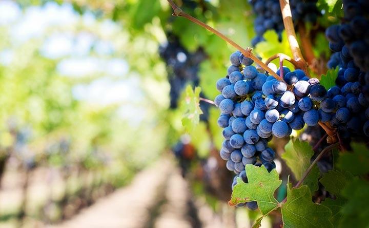 Mosto d'uva, benefici e proprietà